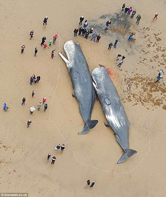 Stranded Sperm Whales Near Skegness, UK